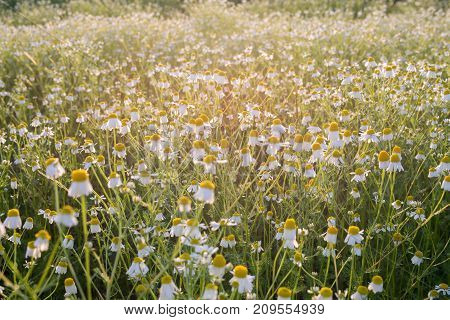 Blooming chamomile on the field - selective focus copy space