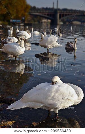 Swan Group on the Vltava River in Prague
