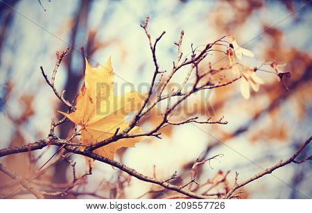 Lonely yellow-gold maple leaf on a branch late fall.