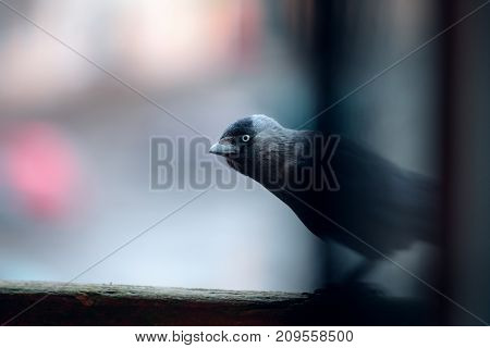jackdaw sitting on the railing and looking in the camera