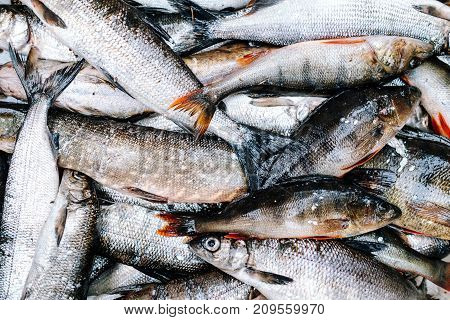 Heap Of River Fish (perch, Pike, Whitefish)