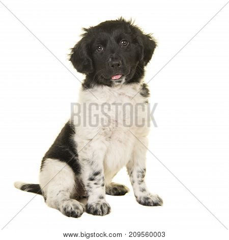 Cute stabyhoun puppy dog sitting looking at the camera isolated on a white background