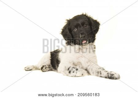 Cute stabyhoun puppy dog lying on the floor with its tongue sticking out isolated on a white background