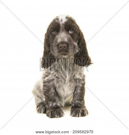Cute chocolate and white english cocker spaniel puppy dog sitting on a white background