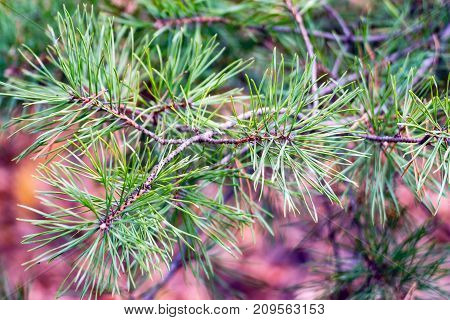 Coniferous spruce pine branch with pine needles on a natural background