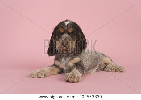 Cute multi colored roan brown english cocker spaniel puppy dog lying on a pink background