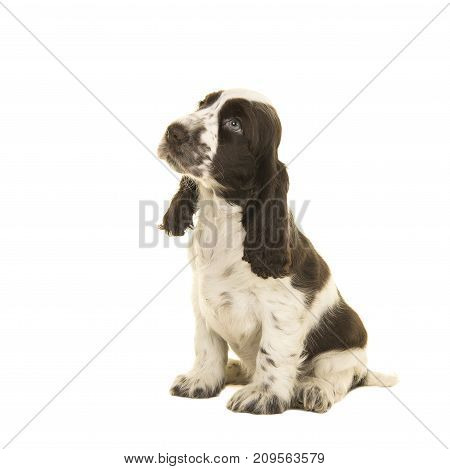 Cute sitting white and chocolate brown cocker spaniel puppy dog looking up isolated on a white background