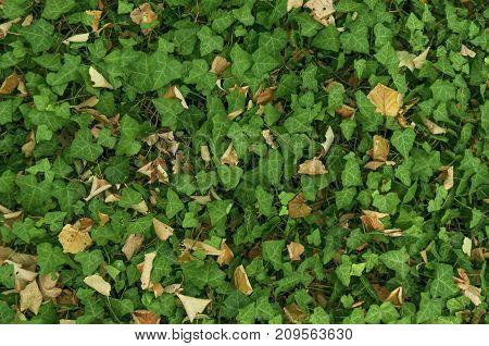 Green forest ivy plant leaf vegetation background