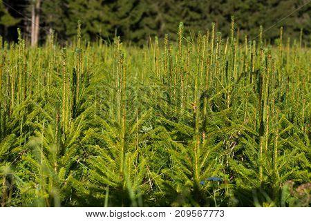 Fir Tree Nursery, Young Spruce Growing