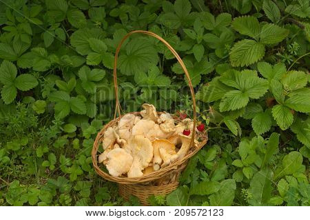 a wicker basket with yellow mushrooms in wild strawberry