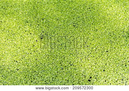 picture of a full frame dense green duckweed background
