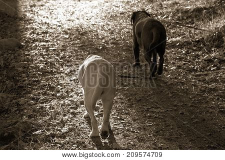 Two dogs Walking into the light on a dirt path in the Woods with the leashes going of to the side. Sepia colors