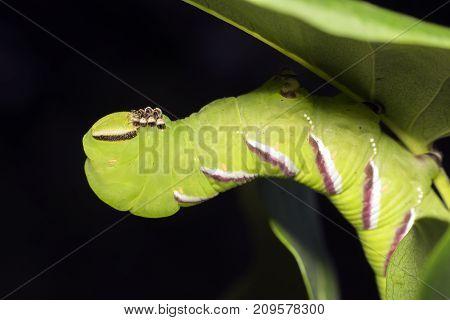 Sphinx ligustri known as the privet hawk moth larva. Butterfly larva. Green caterpillar