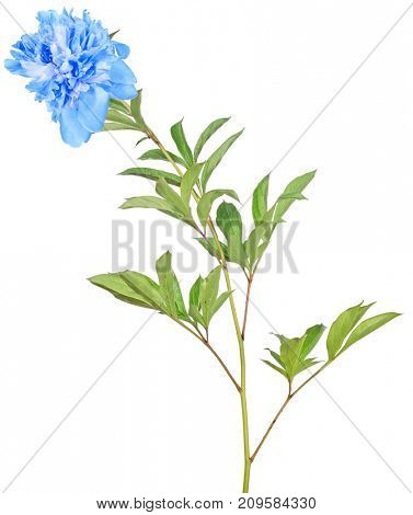 cyan peony flower with green leaves isolated on white background