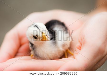 The cute little chick is in hands animal care concept.