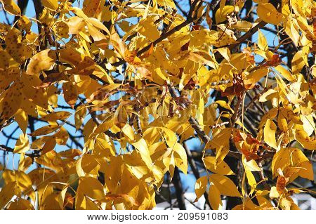 Autumn Ash-tree Branch With Lush Yellow Foliage Close-up. Autumn Background