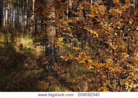 Autumn bush with bright yellow leaves in a pine forest on a sunny day on a sunny day