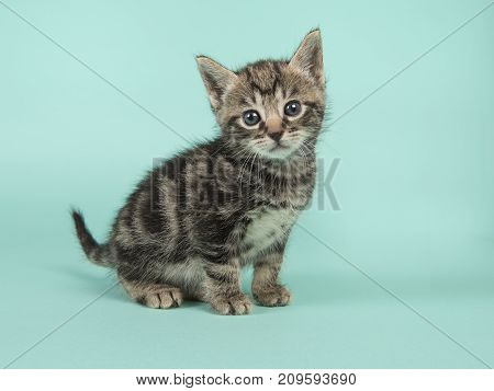 Cute six weeks old tabby baby cat looking at the camera on a turquoise blue background