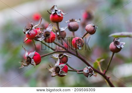 Rosa canina or dogrose in autumn rain. Red berry briar in the autumn garden. branches brier with red fruits