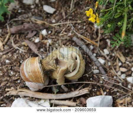 Two Snails With Shell During The Coupling