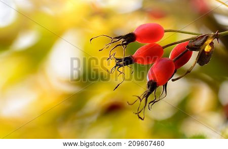 Autumn colours background. Rose hips on a wild dogrose. Briar red berries brunch on golden leaves Bokeh background with sun flare