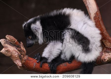 Portrait of a very cute Black and White ruffed lemur