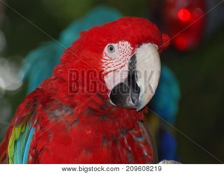 Close up of the head of a macaw