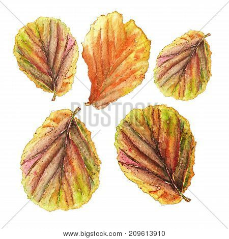 Botanical watercolor illustration of colorful begonia leaves on white background. Could be used as decoration for web design, polygraphy or textile