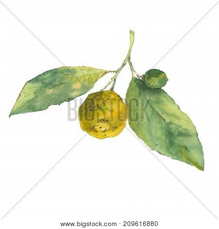Botanical watercolor illustration of citrus with green leaves isolated on white background.