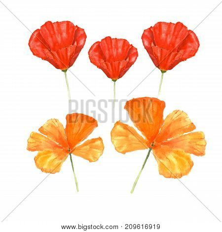 Watercolor botanical illustration of California poppy flowers isolated on white background.