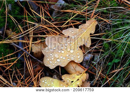 abstract background with wet autumn oak leafage