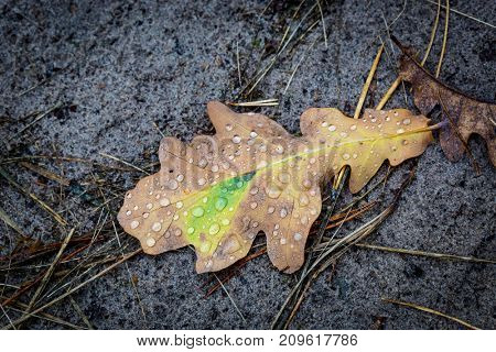 dry oak leaf with water drops