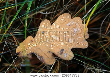 nice autumn oak leaf with water drops