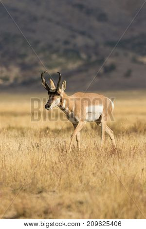 nice pronghorn antelope buck on the prairie