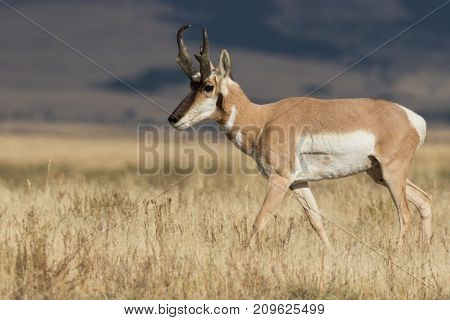 nice pronghorn antelope buck on the prairie