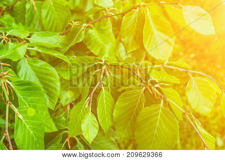 Young Tree Branches Fresh Green Leaves Botanical Foliage Background. Golden Sunlight Flare. Nature Awakening. Spring Summer. Purity Balance Harmony Tranquility