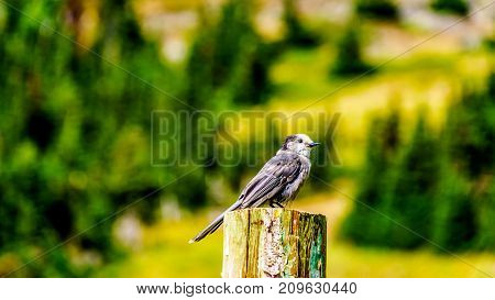 Grey Jay sitting on top of a pole in the high alpine meadows near the village of Sun Peaks, in the Shuswap Highlands in central British Columbia Canada