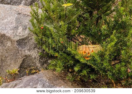 Jack-o-lantern Hiding In Evergreen Tree