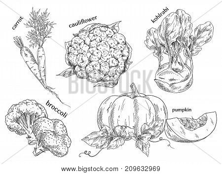 Sketch of carrot and cauliflower and german, turnip cabbage, broccoli and kohlrabi, pumpkin. Organic vegetables for vegetarian, vegan or veggie food. Farming and garden, vitamin and nutrition theme