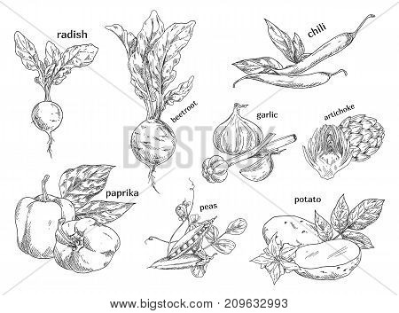 Food vegetables isolated sketches. Vitamin radish and vegetarian beetroot, healthy chilli pepper and vitamin garlic, organic artichoke and autumn potato, peas or pease. Farming and vegan, nature theme