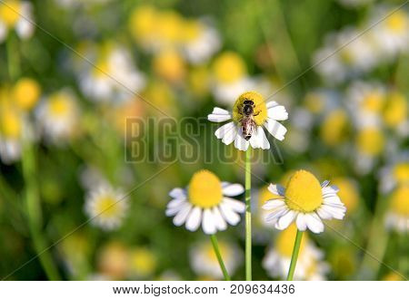 Bumblebee on white daisy flower in the garden. Bee pollinating a white daisy.