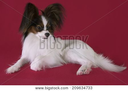 Beautiful young male dog Continental Toy Spaniel Papillon on a red background
