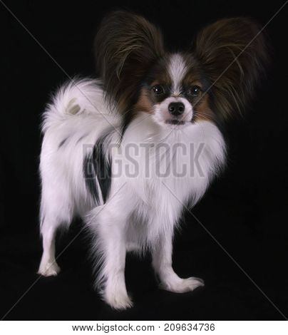 Beautiful young male dog Continental Toy Spaniel Papillon on a black background