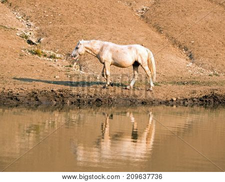 Palomino Stallion Wild Horse Reflecting In The Water At The Water Hole In The Pryor Mountains Wild H
