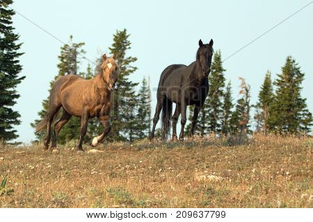 Sooty Palomino And Black Stallions Wild Horses On A Ridge In The Pryor Mountains Wild Horse Range In