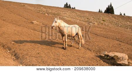 Palomino Stallion Wild Horse With Injured Leg On A Hillside In The Pryor Mountains Wild Horse Range