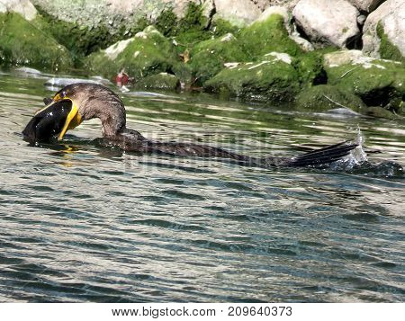 Cormorant is catching a fish on the Lake Ontario in Humber Bay Park of Toronto Canada October 17 2017