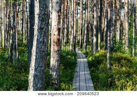 Wooden Boardwalk In Bog