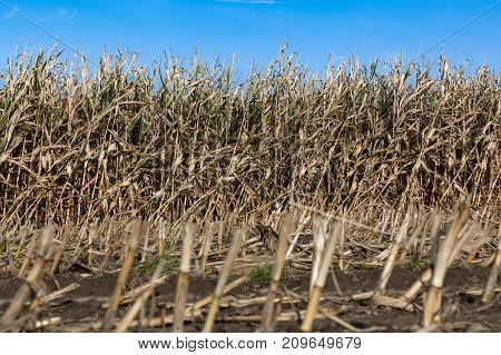Field of maize - popular source of fodder. Central Poland Europe.
