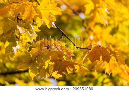 Abstract foliage background beautiful tree branch in autumnal forest bright warm sun light orange dry maple leaves autumn season